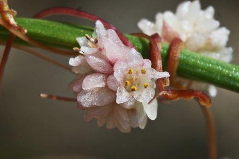 Cuscuta planiflora Ten.