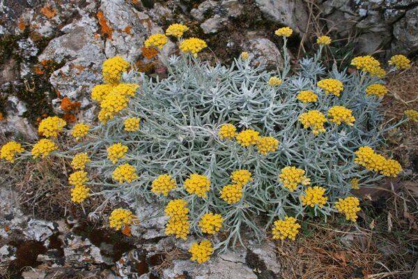 Helichrysum saxatile Moris subsp. saxatile