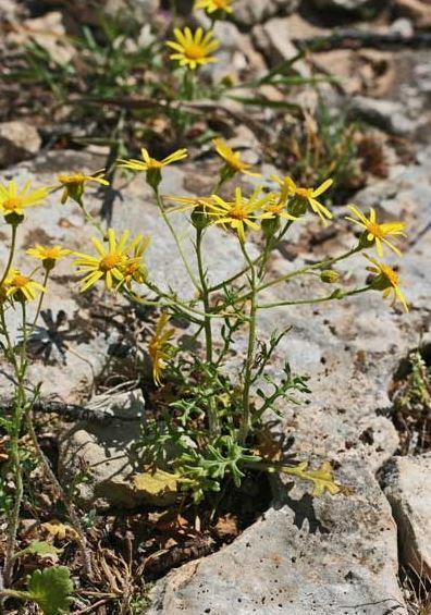 Jacobaea delphiniifolia (Vahl) Pelser & Veldkamp