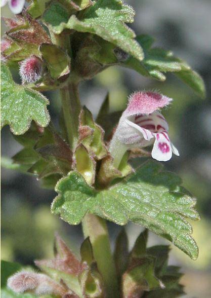 Lamium garganicum L. subsp. corsicum (Godr. & Gren.) Arcang.