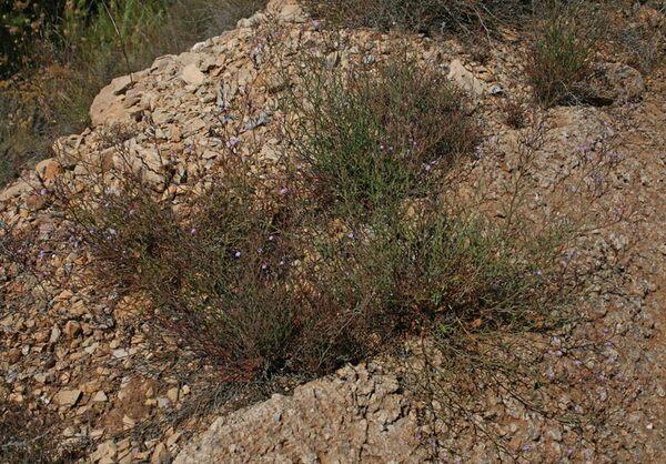 Limonium merxmuelleri Erben