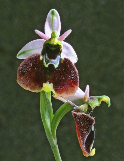 Ophrys chestermanii (J.J.Wood) Gölz & H.R.Reinhard