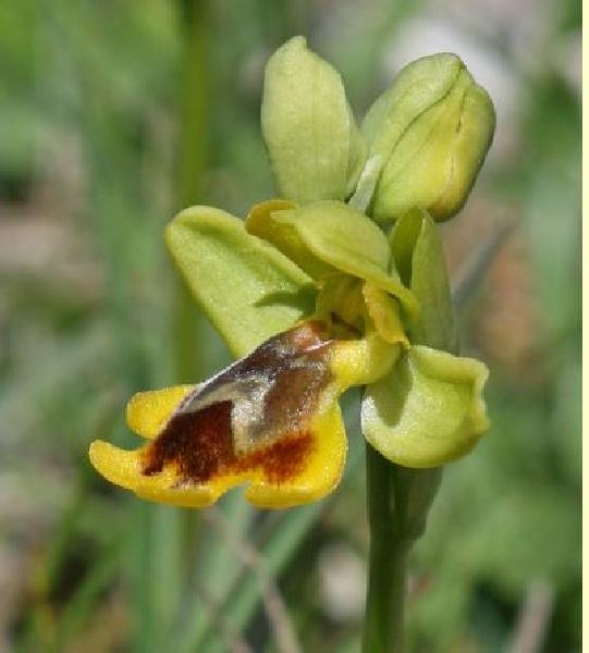 Ophrys lepida S.Moingeon & J.-M.Moingeon