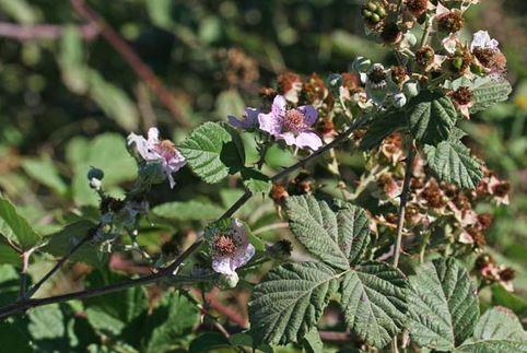 Rubus pignattii Camarda