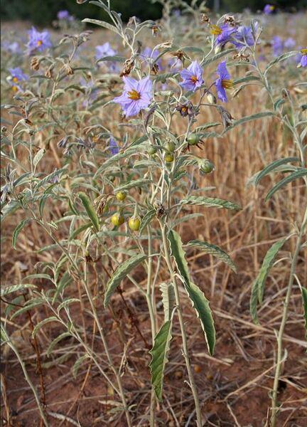 Solanum elaeagnifolium Cav.