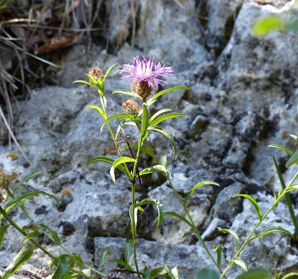 Centaurea rhaetica Moritzi