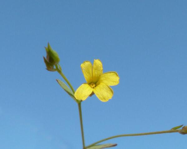 Linum trigynum L.