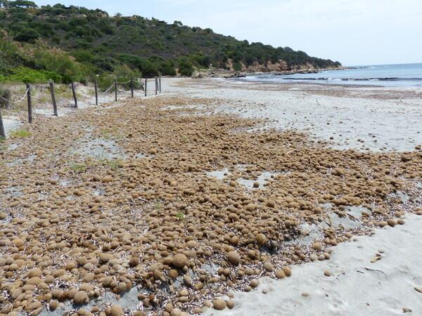 Posidonia oceanica (L.) Delile