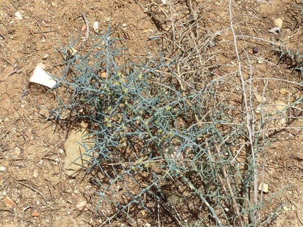 Asparagus horridus L.