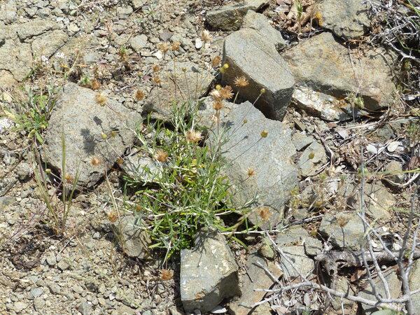 Phagnalon saxatile (L.) Cass.