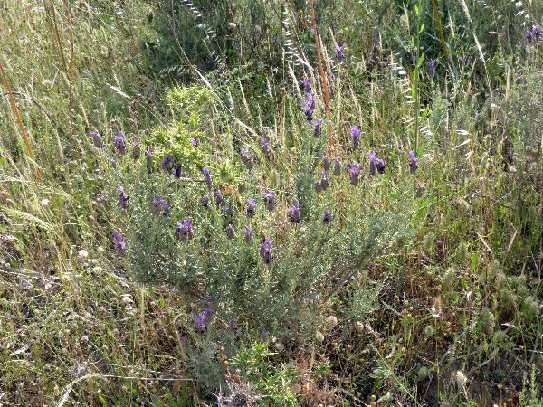 Lavandula stoechas L. subsp. stoechas