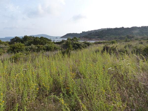 Scolymus hispanicus L. subsp. hispanicus