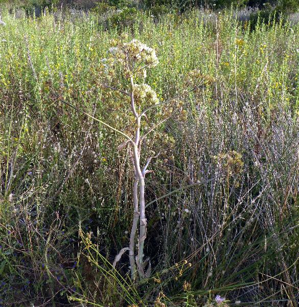 Thapsia garganica L. subsp. garganica