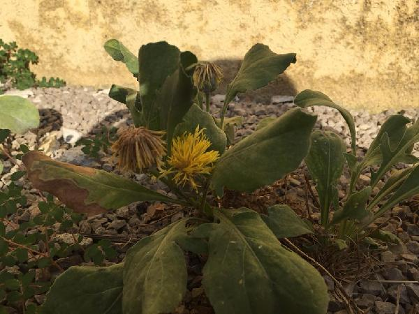 Centaurea acaulis L.