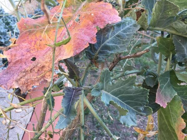 Brassica villosa Biv. subsp. tineoi (Lojac.) Raimondo & Mazzola