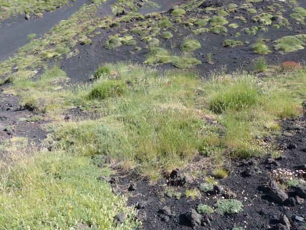 Secale strictum (C.Presl) C.Presl subsp. strictum