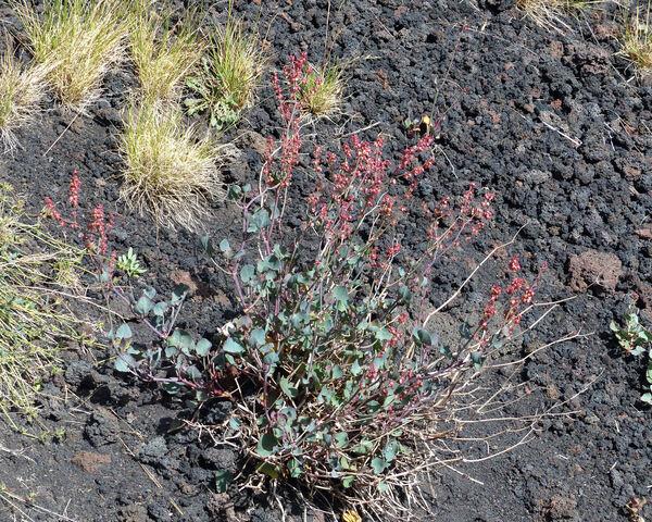 Rumex scutatus L. subsp. aetnensis (C.Presl) Cif. & Giacom.