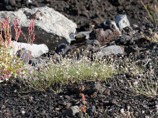 Petrorhagia saxifraga (L.) Link subsp. gasparrinii (Guss.) Pignatti ex Greuter & Burdet