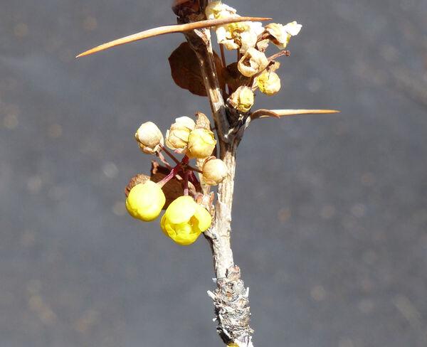 Berberis aetnensis C.Presl