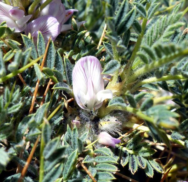 Astragalus siculus Biv.