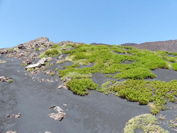 Tanacetum vulgare L. subsp. siculum (Guss.) Raimondo & Spadaro