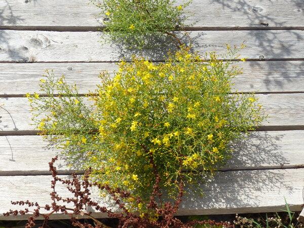 Hypericum triquetrifolium Turra