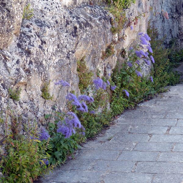 Trachelium caeruleum L. subsp. caeruleum