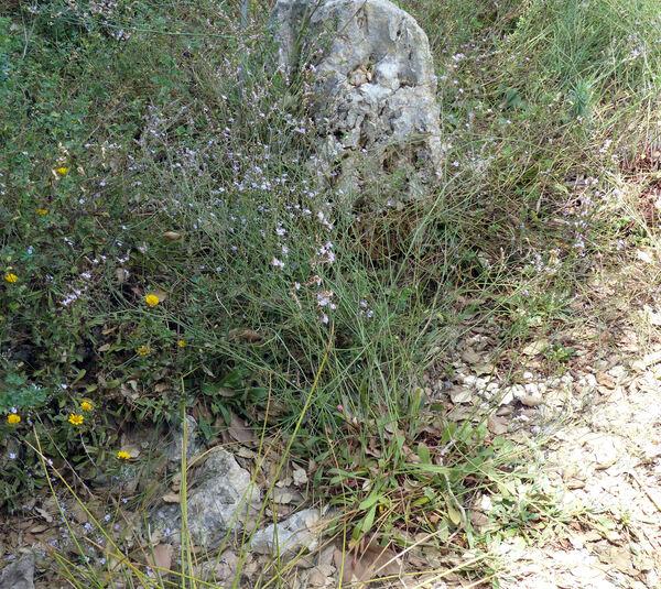 Limonium secundirameum (Lojac.) Brullo