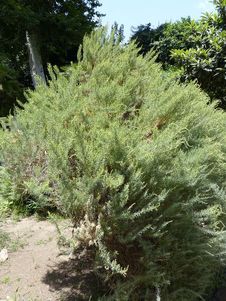Salsola melitensis Botsch.
