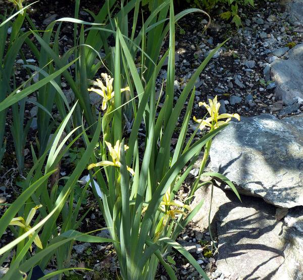Iris halophila Pall.