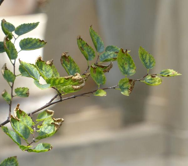 Celtis tournefortii Lam. subsp. aetnensis (Tornab.) Raimondo & Schicchi