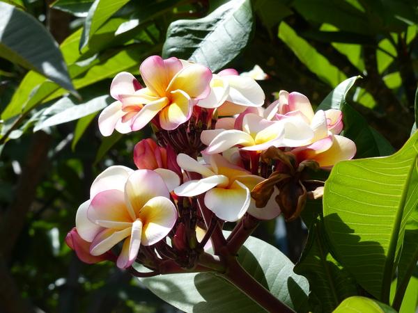 Plumeria rubra L. 'Chompu Silp'