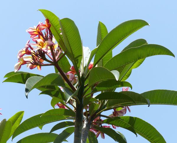 Plumeria rubra L. 'Confetti'