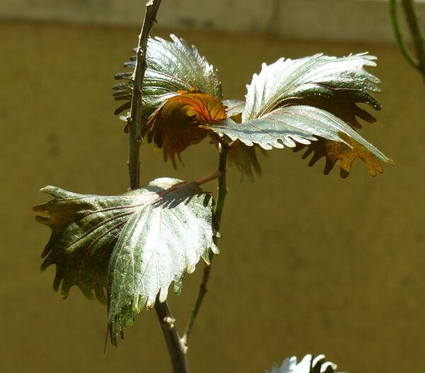 Acalypha wilkesiana Mull.Arg. 'Moorea'