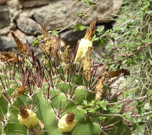 Ferocactus peninsulae (A.A.Weber) Britton & Rose