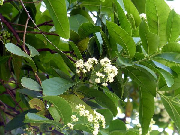 Ehretia macrophylla Wall.