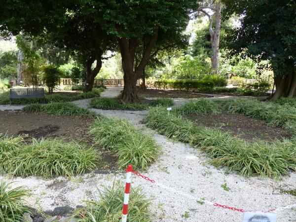 Chlorophytum comosum (Thunb.) Jacques 'Vittatum'