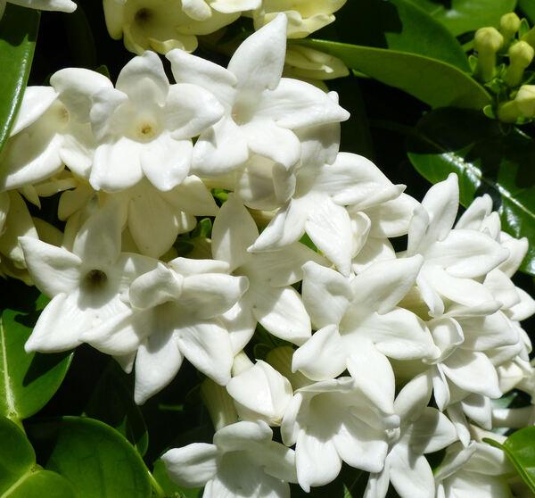 Stephanotis floribunda Brongn.