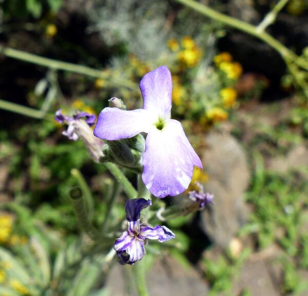 Matthiola incana (L.) W.T.Aiton subsp. pulchella (Conti) Greuter & Burdet