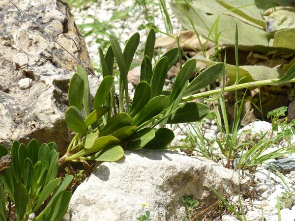 Cheirolophus crassifolius (Bertol.) Susanna