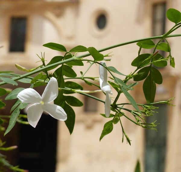 Jasminum grandiflorum L.