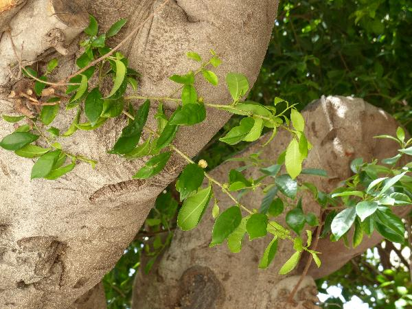 Ficus benjamina L.