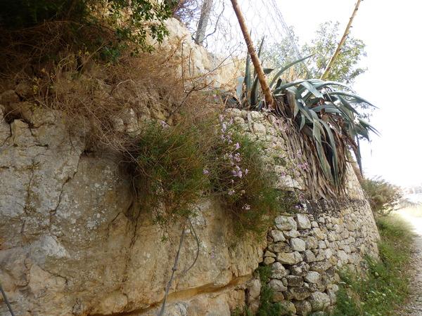 Dianthus rupicola Biv.