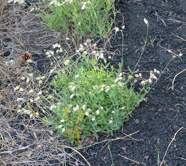Silene vulgaris (Moench) Garcke subsp. aetnensis (Strobl) Pignatti