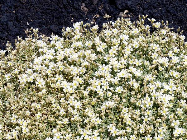 Cerastium tomentosum L.