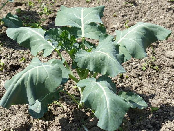 Brassica cretica Lam.