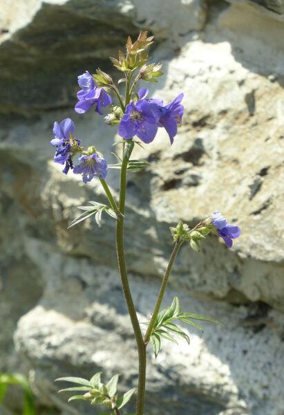 Polemonium caucasicum N. Busch