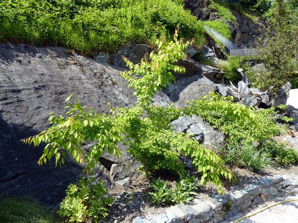 Prunus mandshurica (Maxim.) Koehne