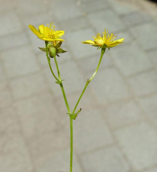 Waldsteinia ternata (Stephan) Fritsch subsp. trifolia (Rochel ex K.Koch) Teppner