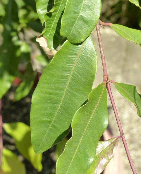 Syzygium paniculatum Gaertn.